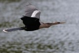Female anhinga flying low