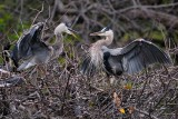 Great blue herons having lover's spat