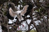 Wood stork landing with a branch