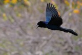 Boat-tailed grackle flying by