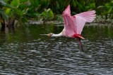 Roseate spoonbill flying low