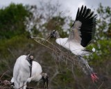 Wood stork with giant branch