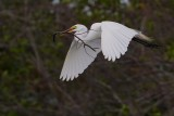 Great egret with some nest materials