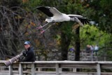 Wood stork passing a photographer