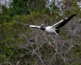 Wood stork hauling big lumber