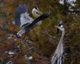 Great blue heron landing by its mate