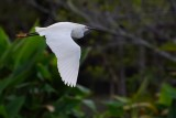 Snowy egret flying past