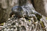 Green iguana on a log