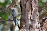 Red-bellied woodpecker making a nest hole