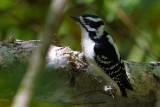 Downy woodpecker in the marsh