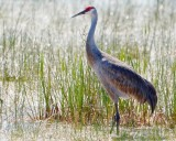 Sandhill crane in bright backlight