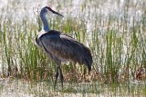 Sandhill crane standing among the reeds
