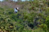 Swallow-tailed kite flying by
