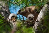 Red-shouldered hawk chicks in nest