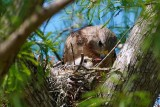 Red-shouldered hawk feeding chick