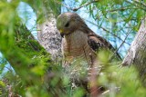 Red-shouldered hawk on a nest