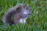 Squirrel in the front yard