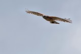 Red-shouldered hawk circling