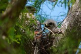 Red-shouldered hawk chick and parent