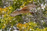 Red-shouldered hawk flying close by