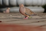 Mourning dove on the deck