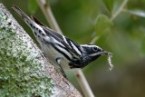 Black-and-white warbler with caterpillar