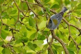 Northern parula in the trees