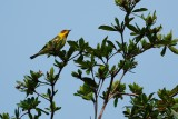 Cape May warbler high in the yard