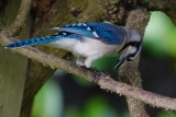 Blue jay eating a beetle