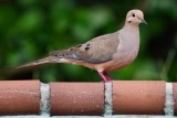Mourning dove by the pool