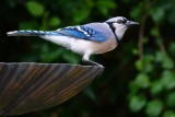Blue jay on the bird bath in my yard