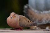 Mourning dove resting on the deck