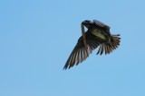 Purple martin in flight with nest materials