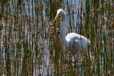 Great egret out in the grassy waters