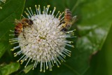 Bees on a flower pod