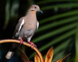 White winged dove on the lamppost