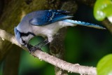 Blue jay eating a sunflower seed