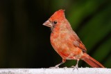 Northern cardinal on the planter