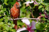 Northern cardinal in the hibiscus