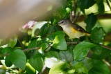 American redstart in the hibiscus