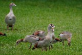 Egyptian geese family waiting for the air force