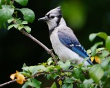 Blue jay in my yard