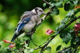 Baby blue jay in my yard