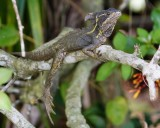 Basilisk lizard hanging around