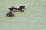 Wood duck pair in the duck weed