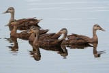 Bunch of mottled ducks