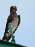 Purple martin looking my way