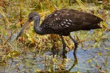 Limpkin looking for food