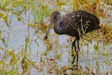 Limpkin with a snail