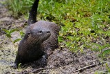 River otter thinking about running